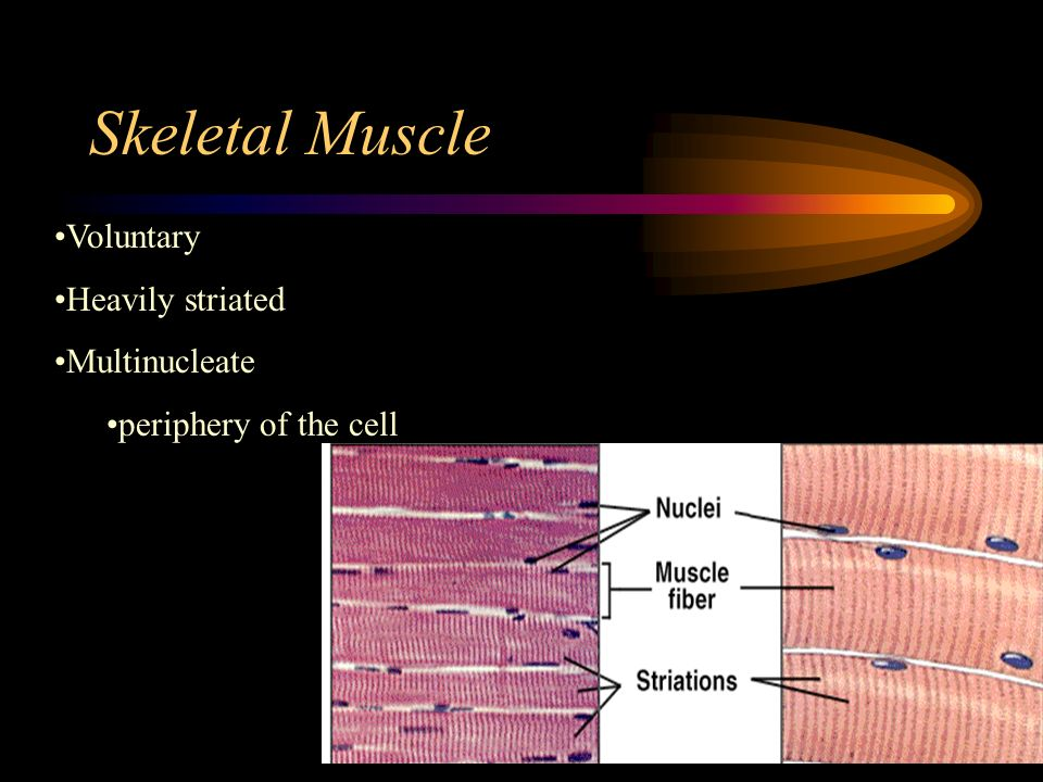 Skeletal Muscle Voluntary Heavily striated Multinucleate