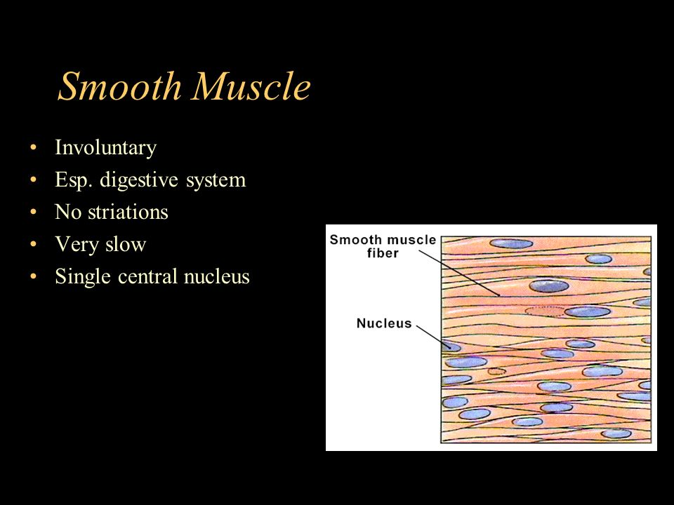 Smooth Muscle Involuntary Esp. digestive system No striations