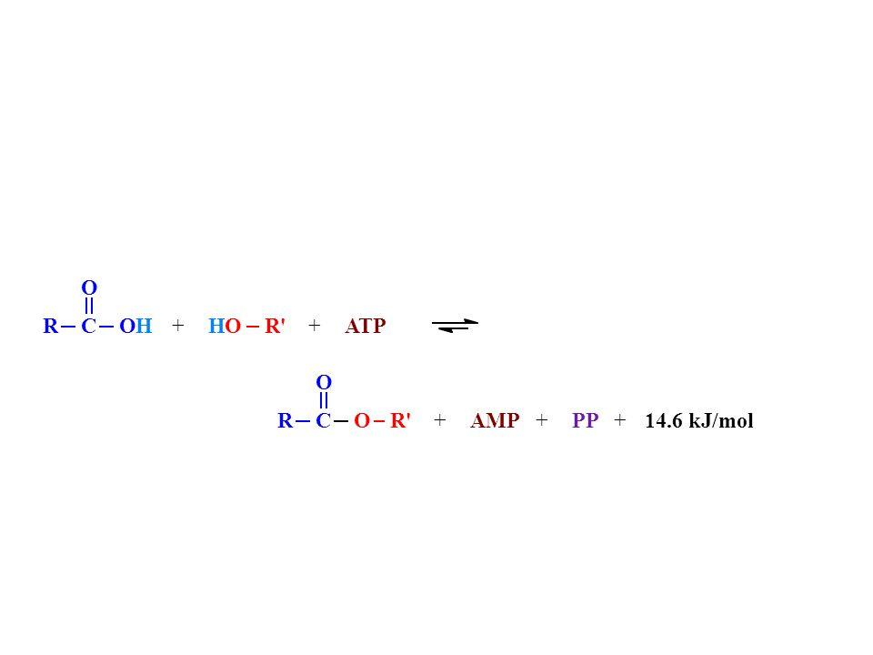 R C O R H + ATP AMP PP 14.6 kJ/mol