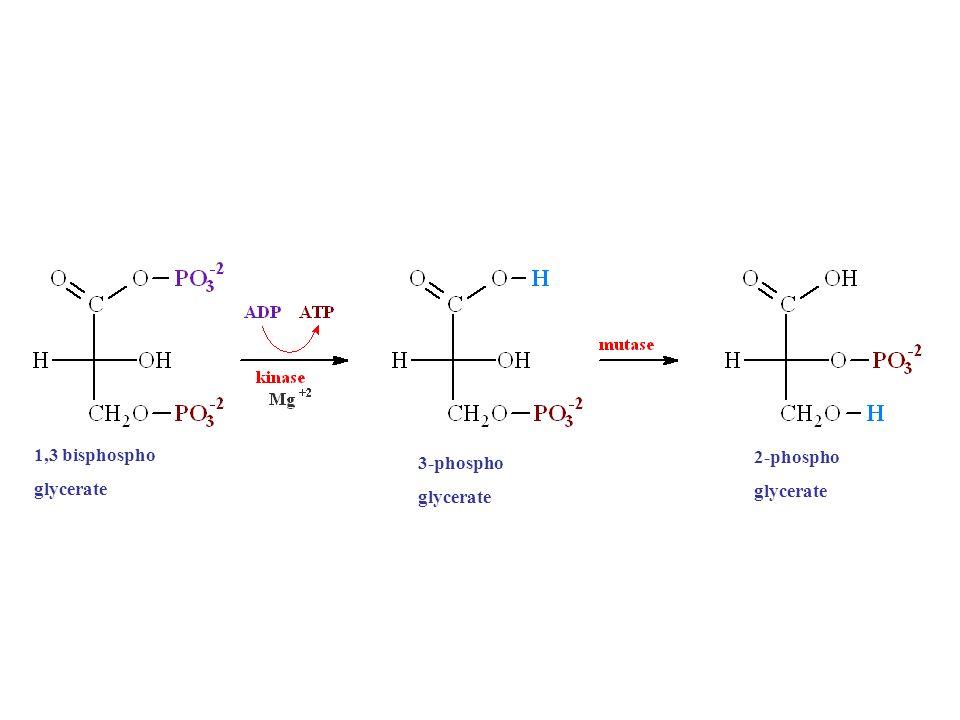 1,3 bisphospho glycerate 2-phospho glycerate 3-phospho glycerate