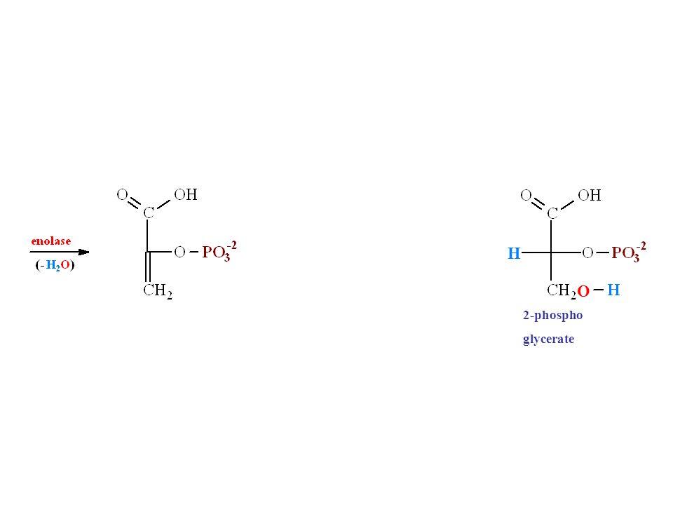 H O 2-phospho glycerate