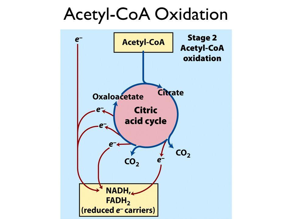 Acetyl-CoA Oxidation