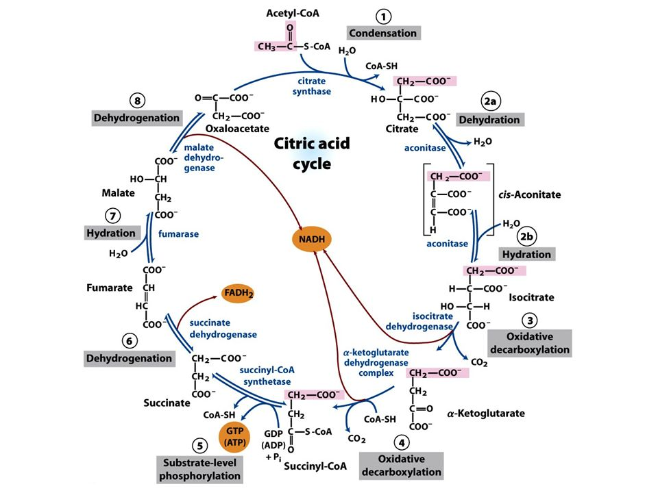 FIGURE 16-7 Reactions of the citric acid cycle