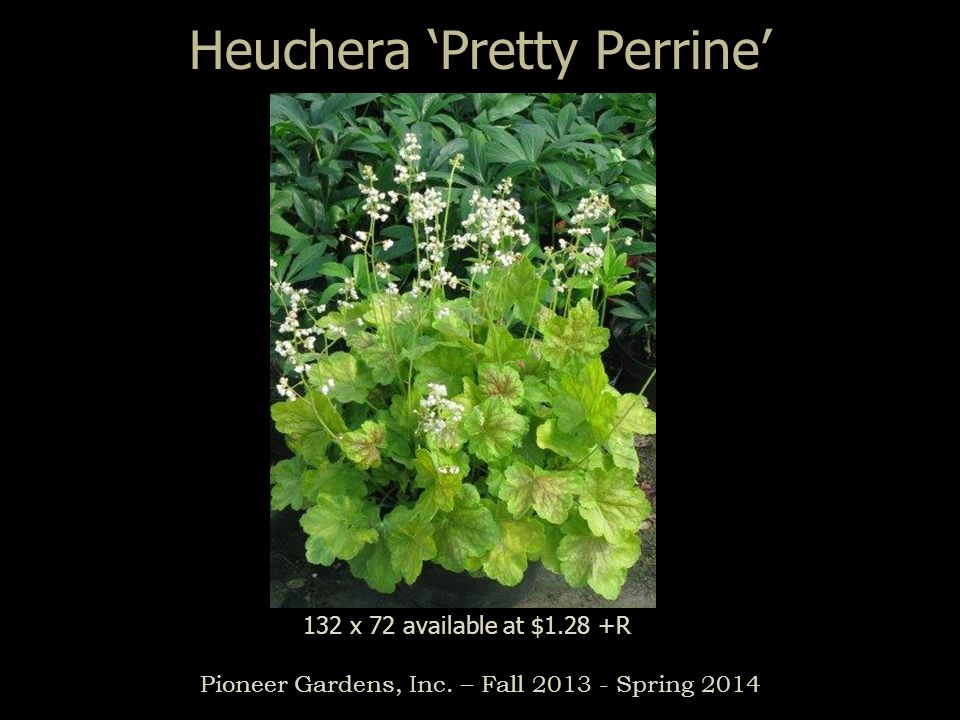 Heuchera 'Pretty Perrine'