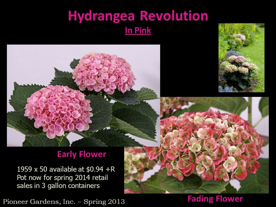 Hydrangea Revolution Early Flower Fading Flower In Pink