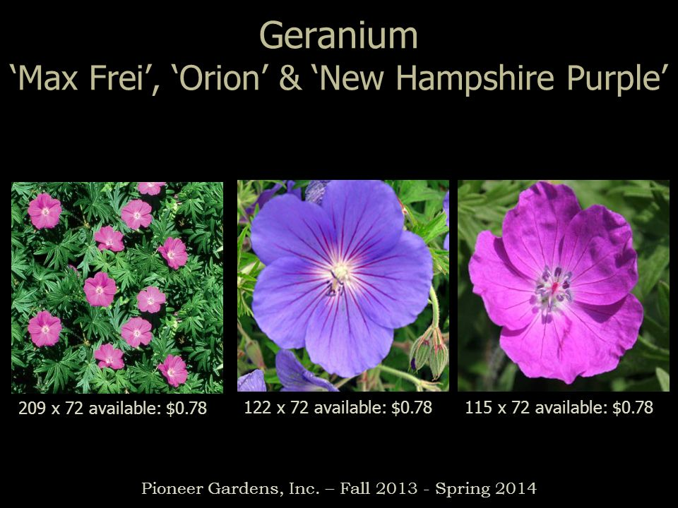 Geranium 'Max Frei', 'Orion' & 'New Hampshire Purple'
