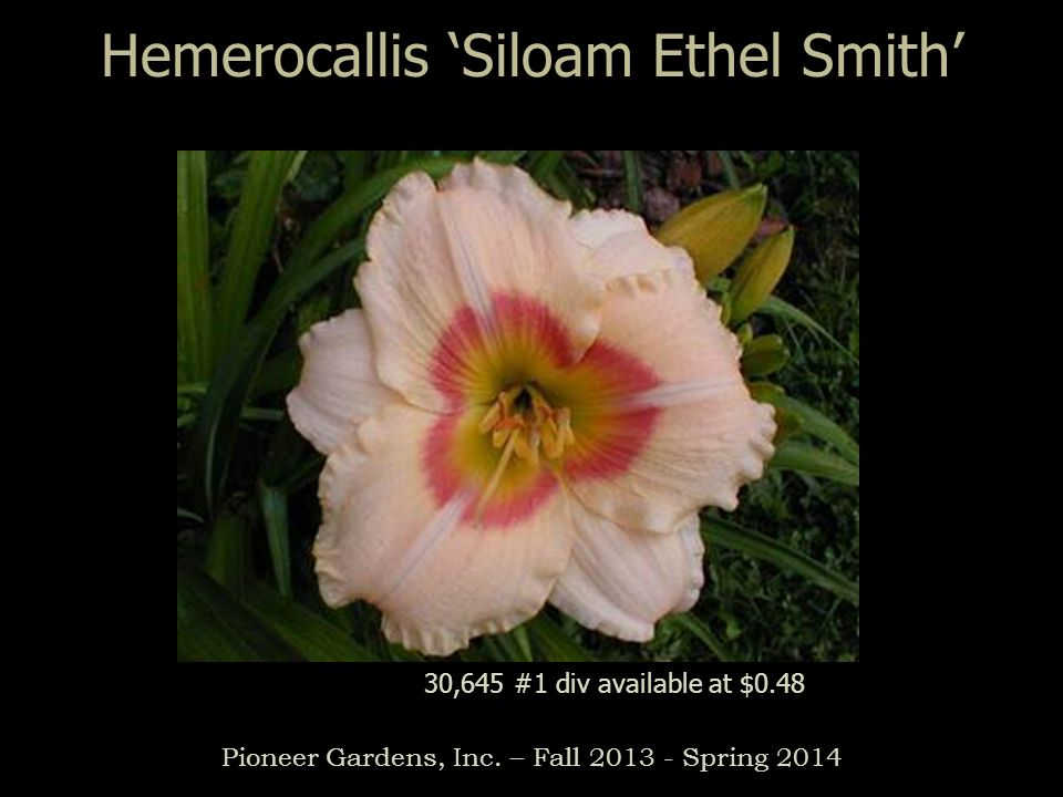 Hemerocallis 'Siloam Ethel Smith'