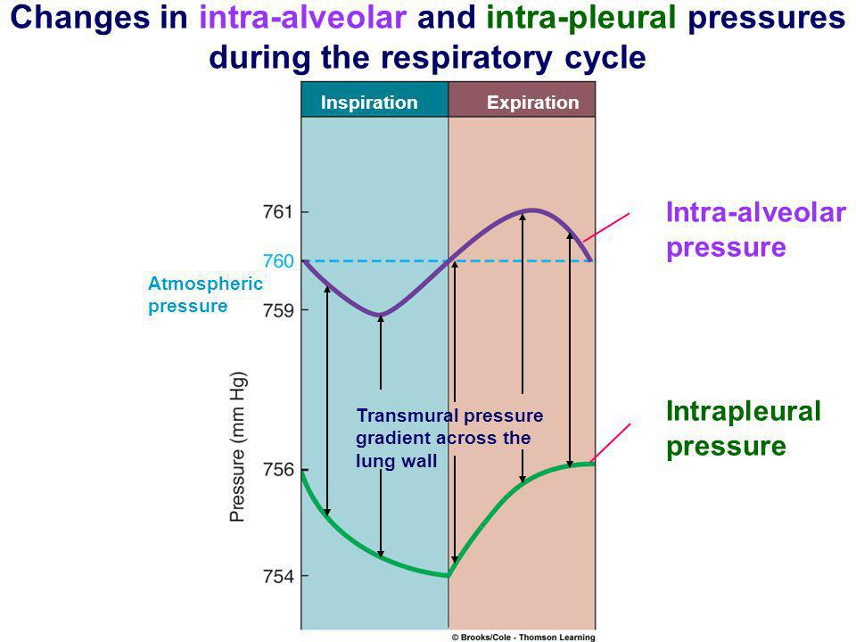 Changes in intra-alveolar and intra-pleural pressures during the respiratory cycle