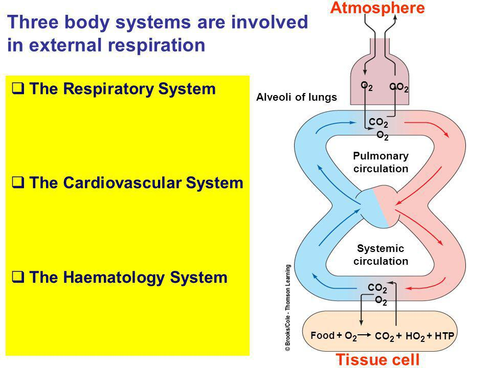 Three body systems are involved in external respiration