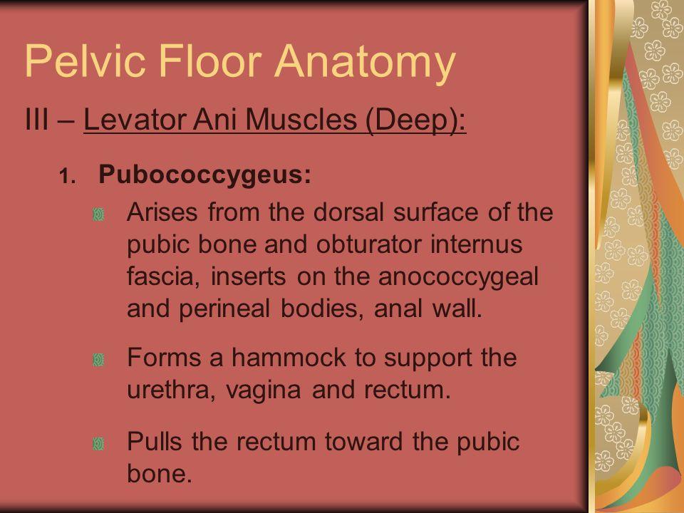 Pelvic Floor Anatomy III – Levator Ani Muscles (Deep): Pubococcygeus:
