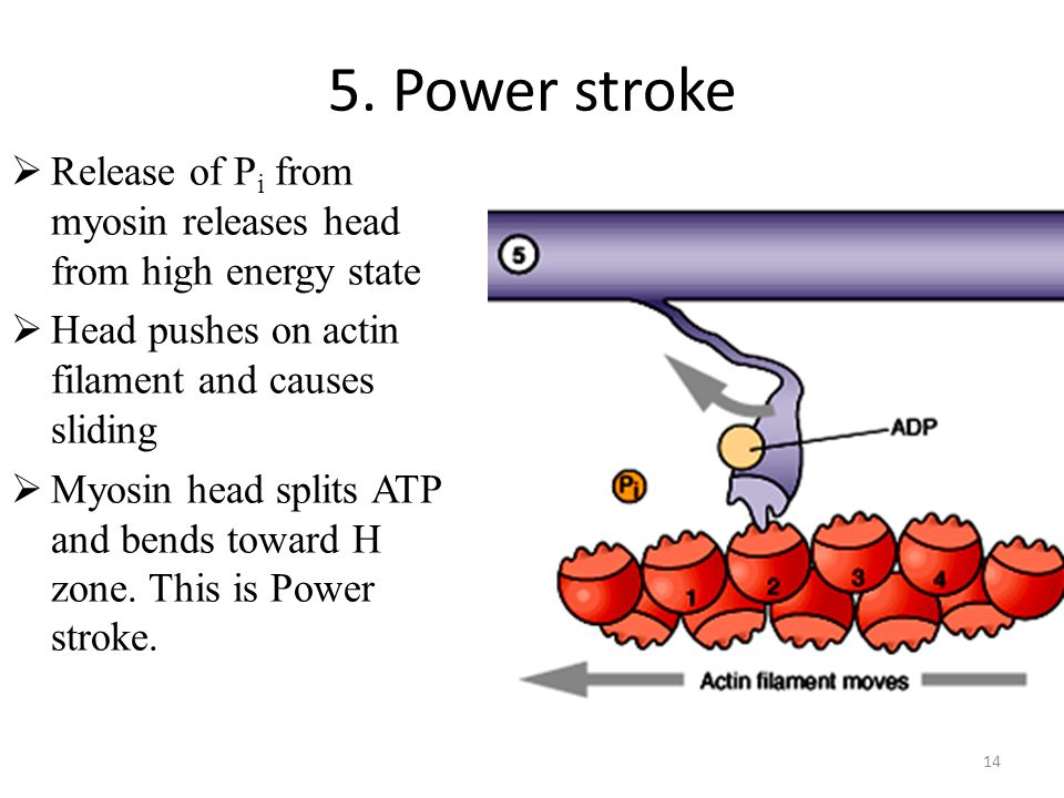 5. Power stroke Release of Pi from myosin releases head from high energy state. Head pushes on actin filament and causes sliding.