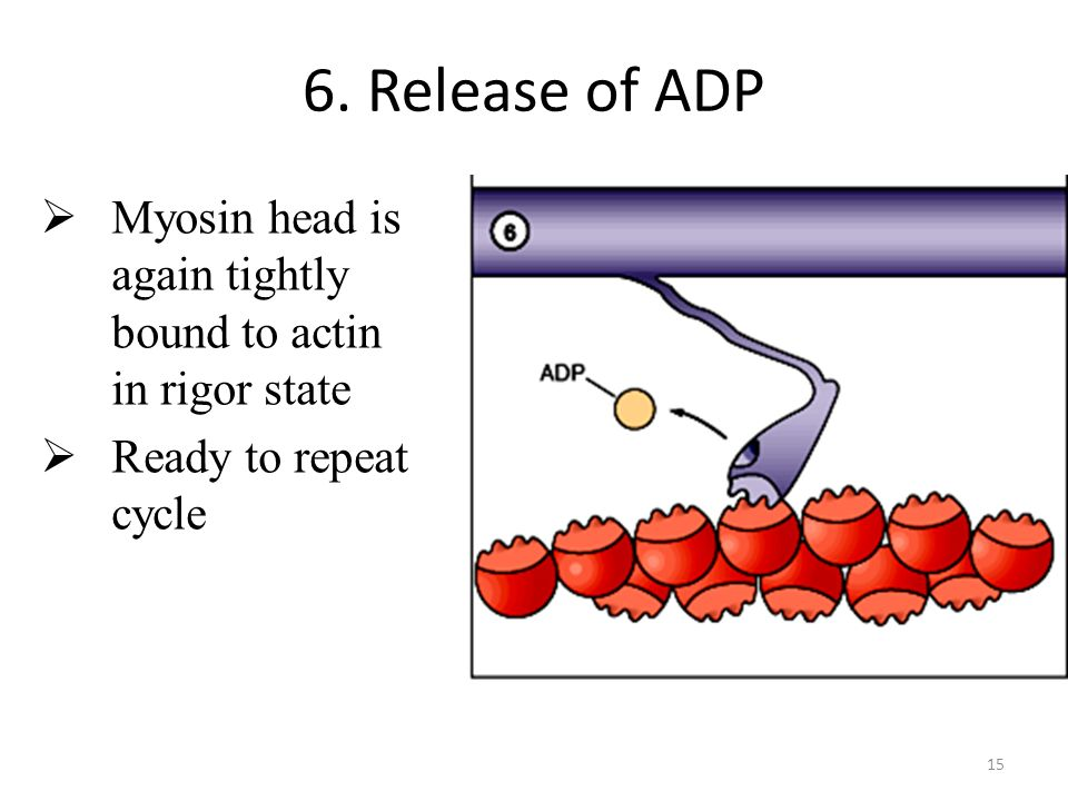 6. Release of ADP Myosin head is again tightly bound to actin in rigor state Ready to repeat cycle