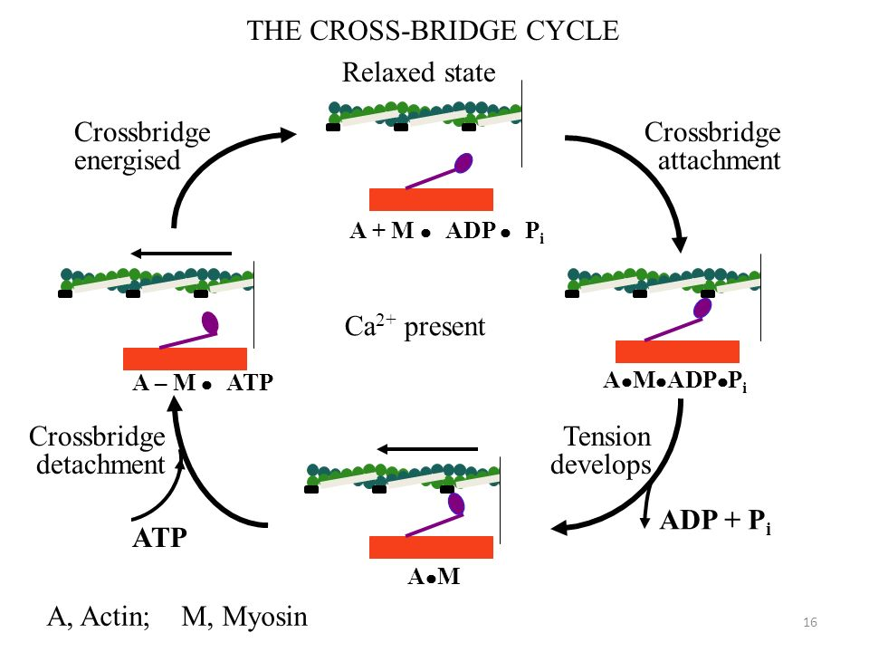 THE CROSS-BRIDGE CYCLE Relaxed state