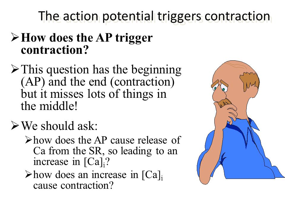 The action potential triggers contraction