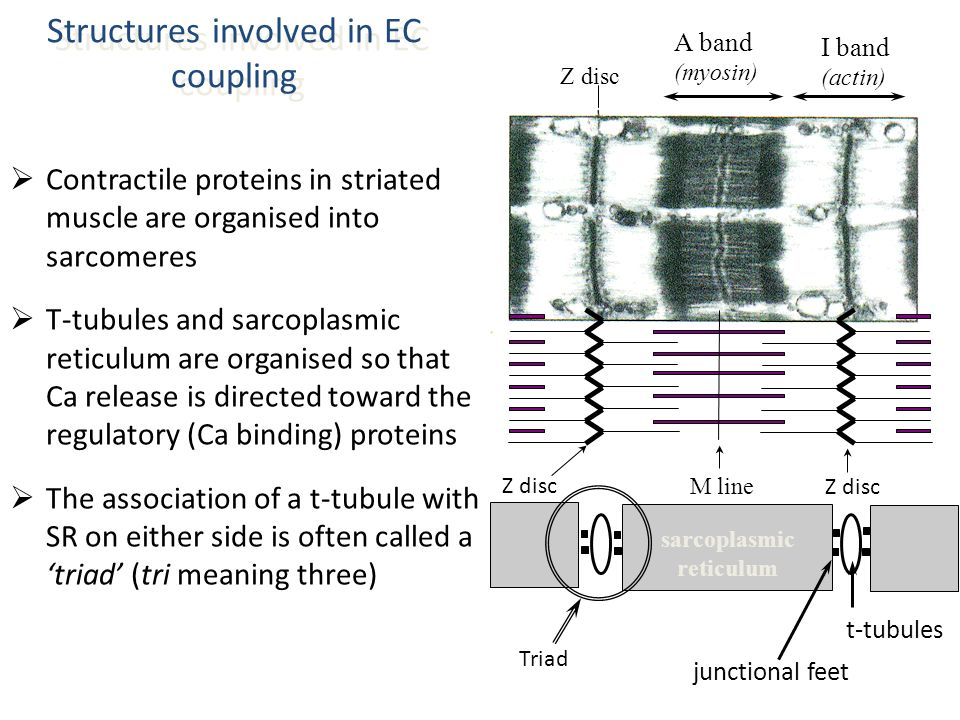 Structures involved in EC coupling