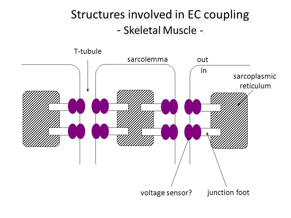 Structures involved in EC coupling - Skeletal Muscle -