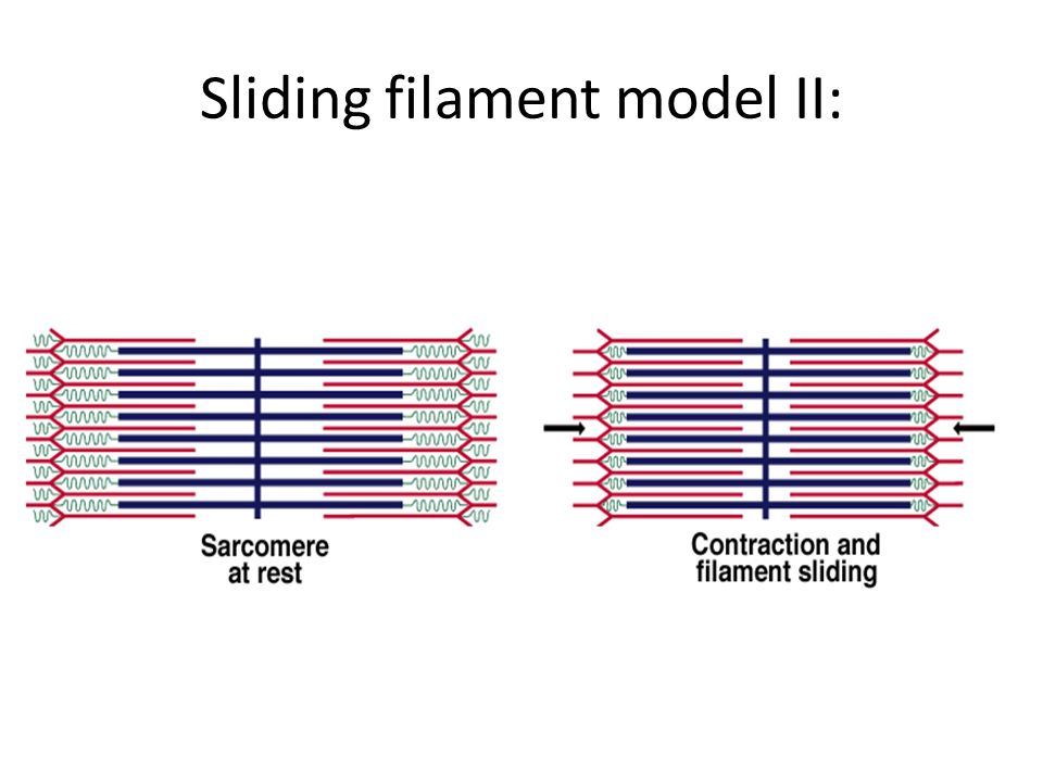 Sliding filament model II:
