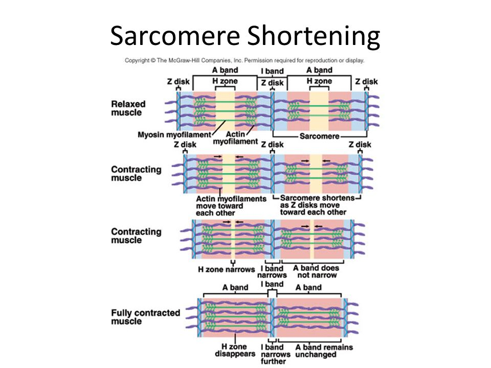 Sarcomere Shortening