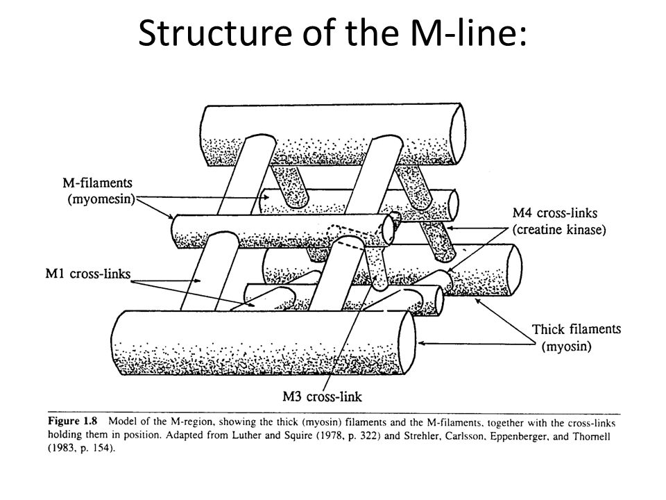 Structure of the M-line: