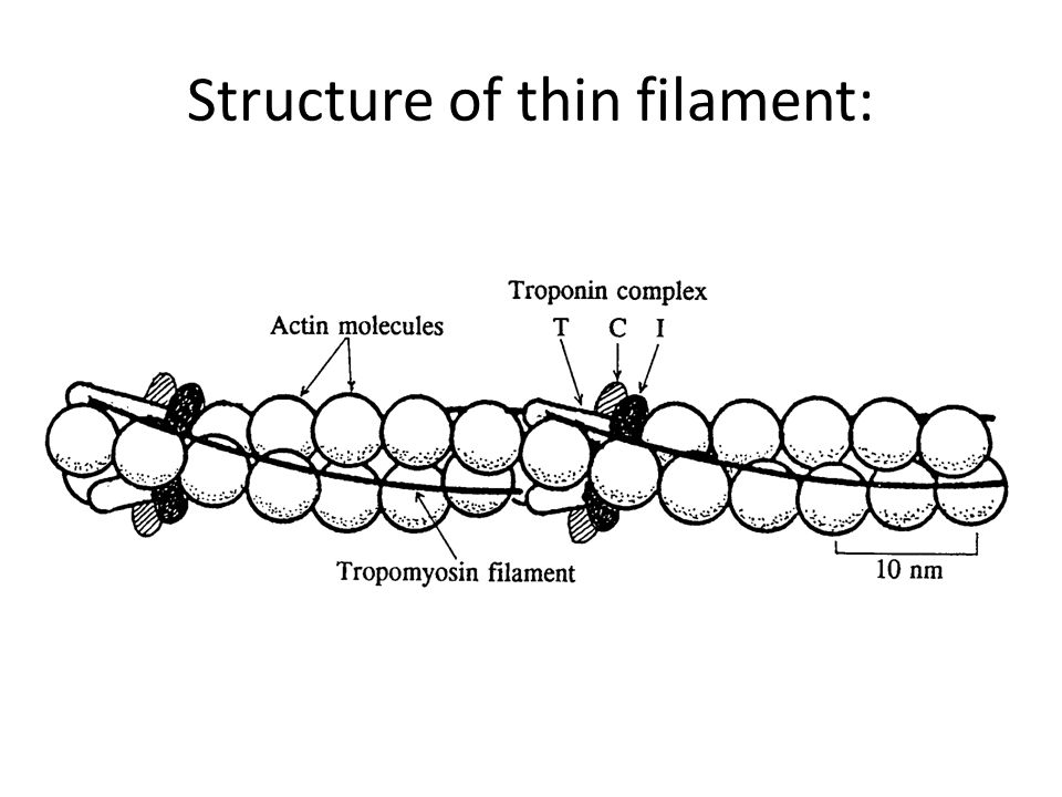 Structure of thin filament: