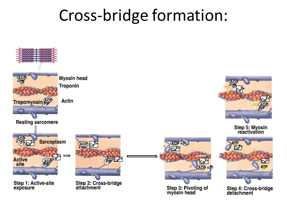 Cross-bridge formation: