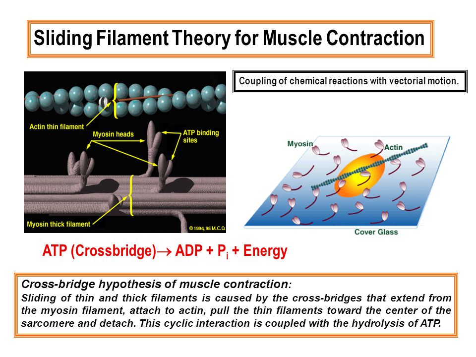 Sliding Filament Theory for Muscle Contraction