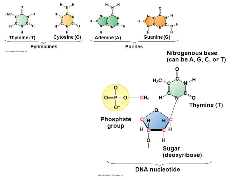 Thymine (T) Phosphate group