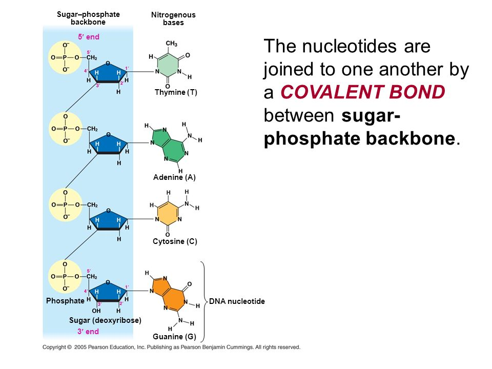 Sugar–phosphate backbone. Nitrogenous. bases. 5 end.