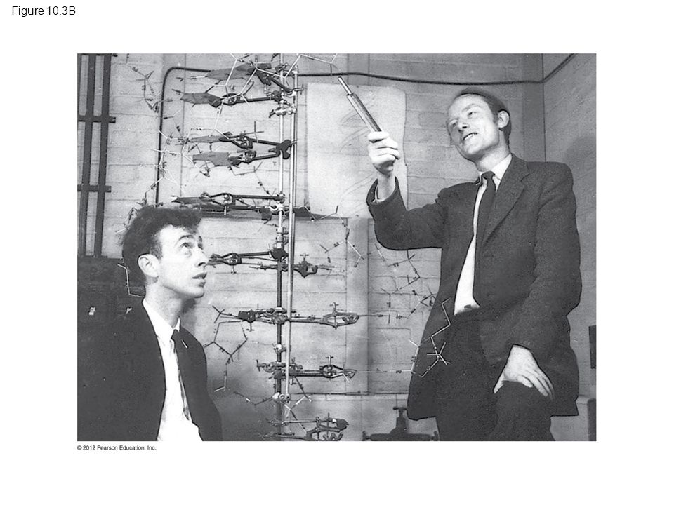 Figure 10.3B Figure 10.3B Watson and Crick in 1953 with their model of the DNA double helix 15