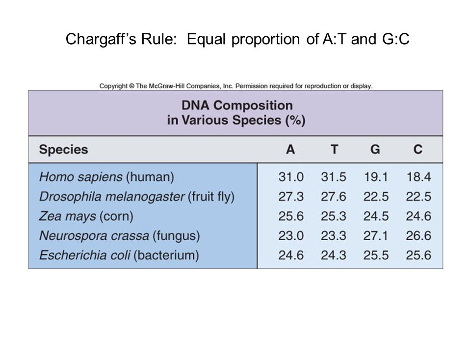 Chargaff's Rule: Equal proportion of A:T and G:C