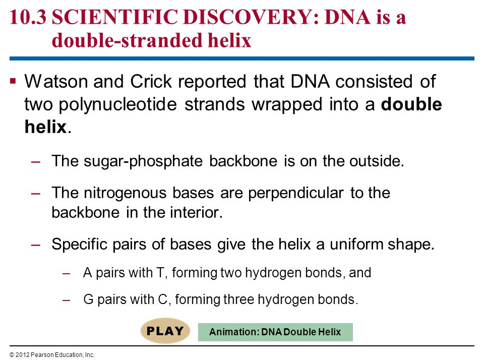 10.3 SCIENTIFIC DISCOVERY: DNA is a double-stranded helix