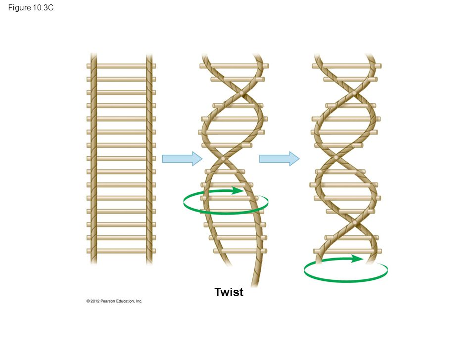 Figure 10.3C Figure 10.3C A rope ladder model for the double helix Twist 20