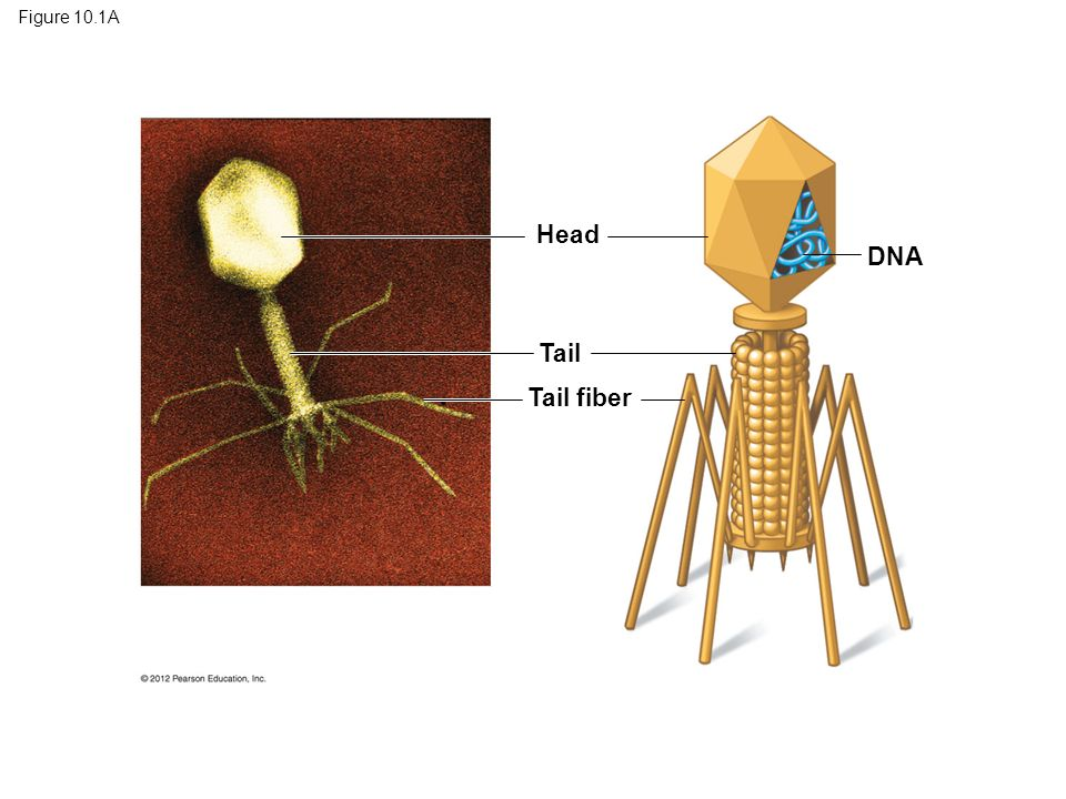 Figure 10.1A Head DNA Tail Tail fiber Figure 10.1A Phage T2 7