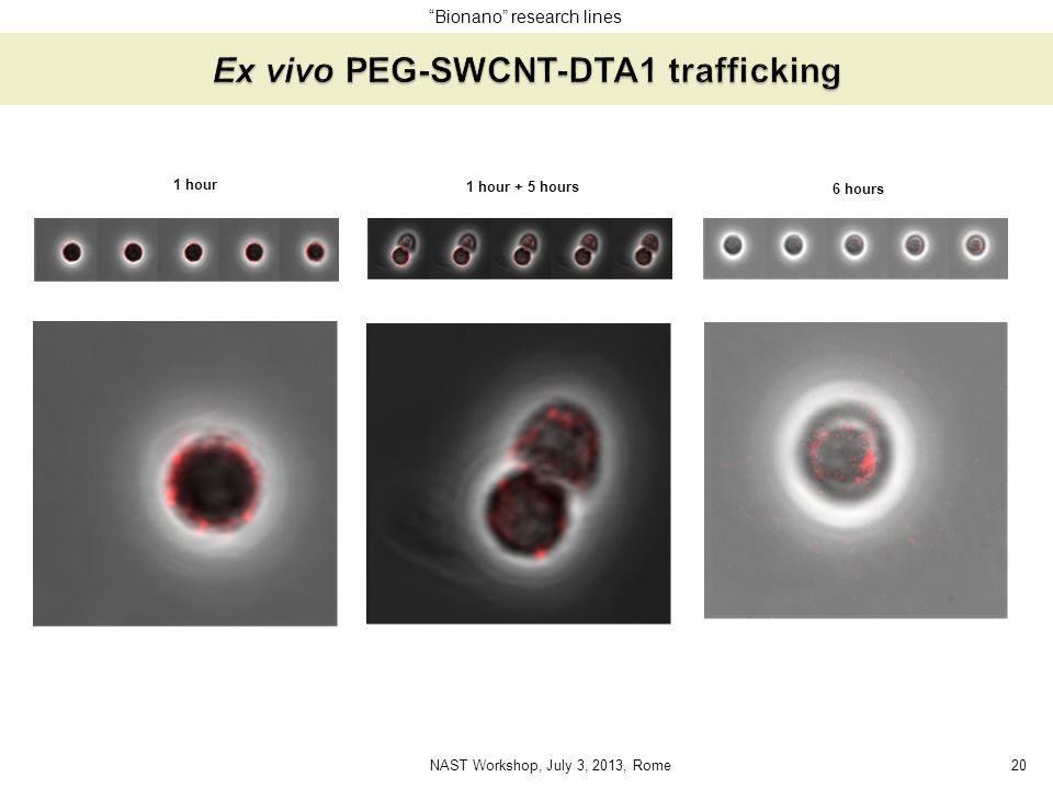 Ex vivo PEG-SWCNT-DTA1 trafficking