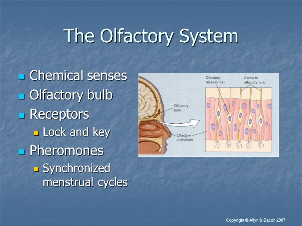 The Olfactory System Chemical senses Olfactory bulb Receptors