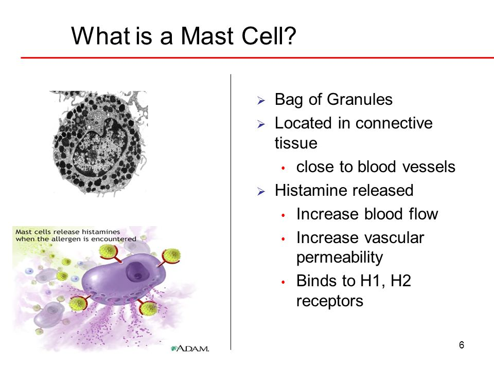 What is a Mast Cell Bag of Granules Located in connective tissue