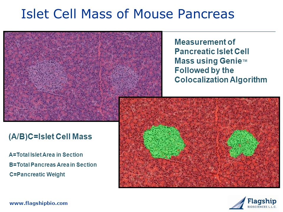 Islet Cell Mass of Mouse Pancreas