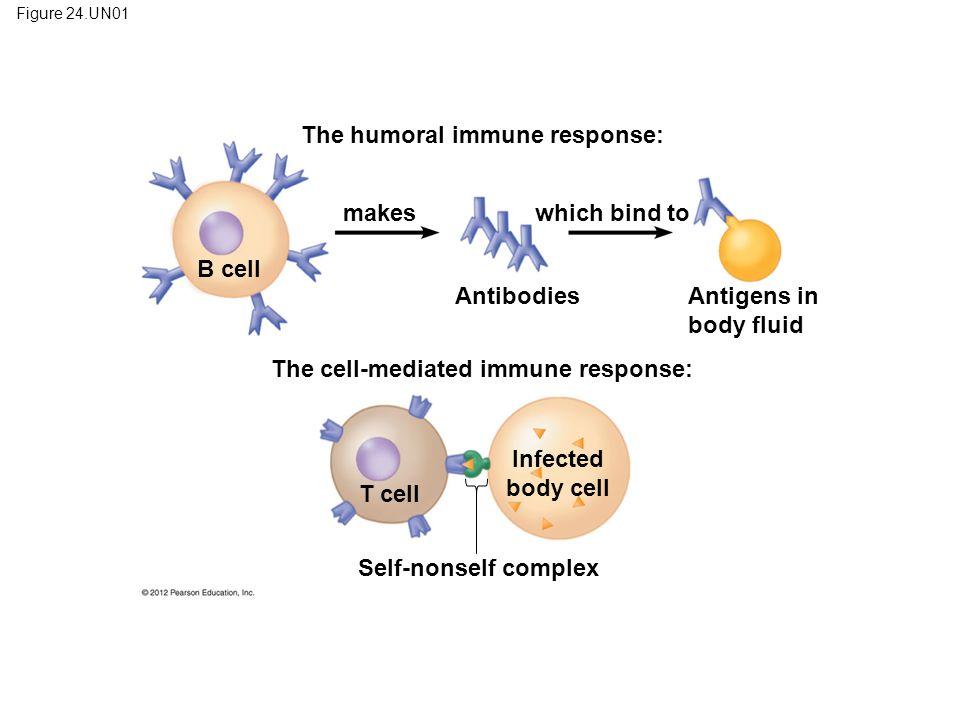 The humoral immune response: