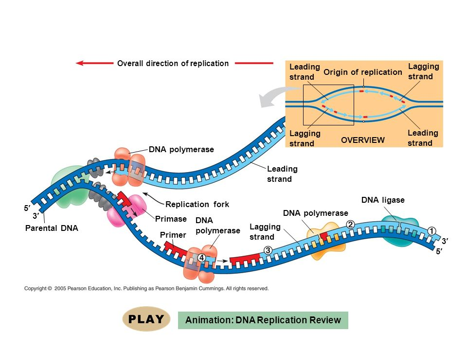 Animation: DNA Replication Review