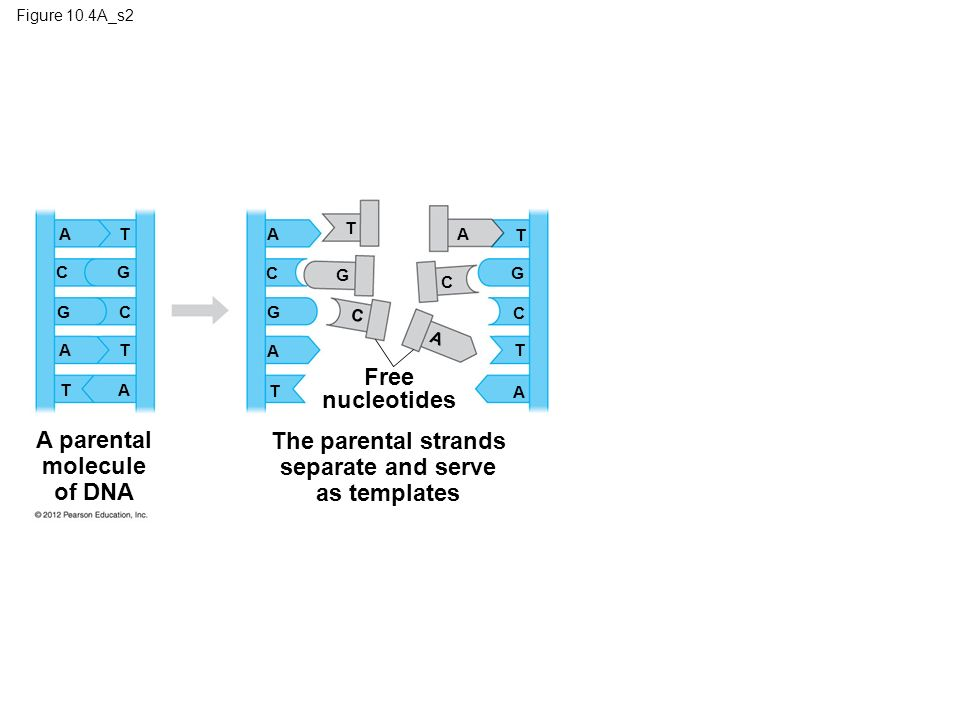 A parental molecule of DNA