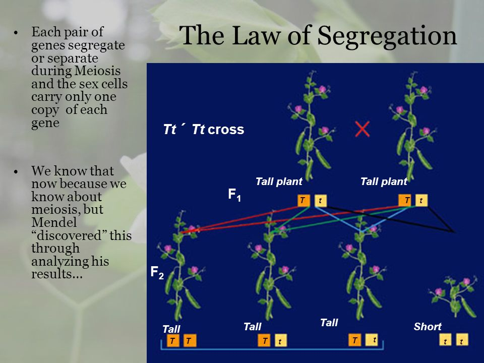 The Law of Segregation Each pair of genes segregate or separate during Meiosis and the sex cells carry only one copy of each gene.