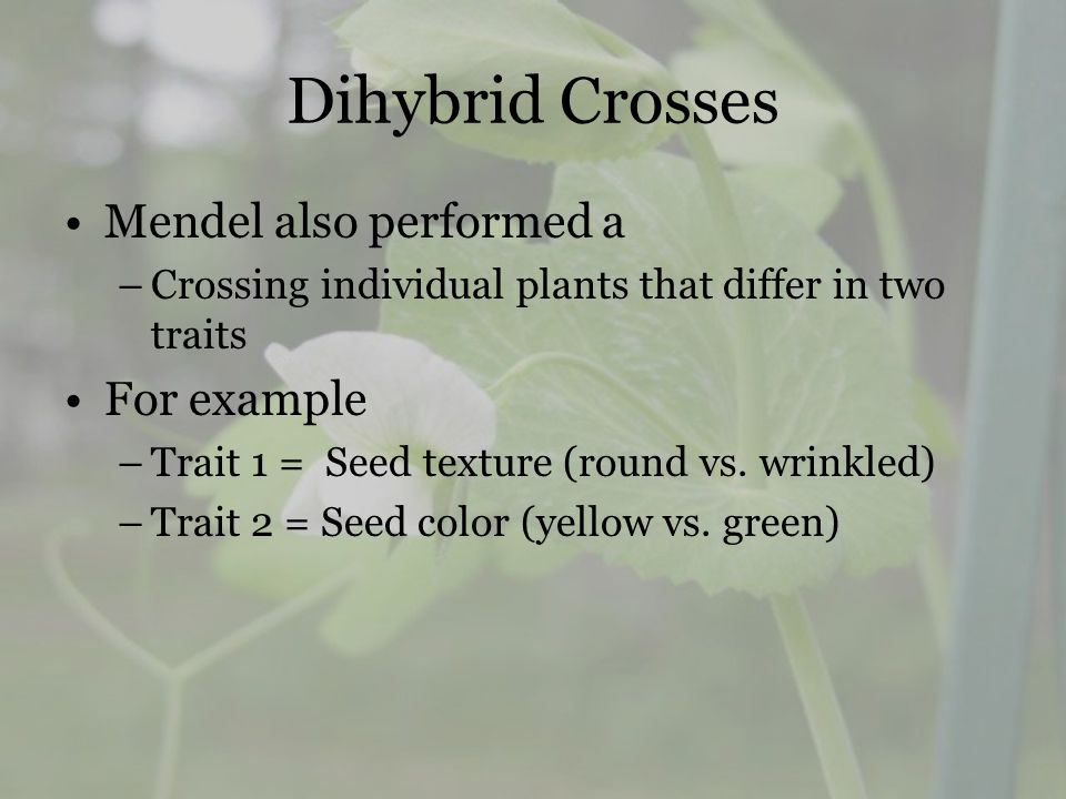 Dihybrid Crosses Mendel also performed a For example