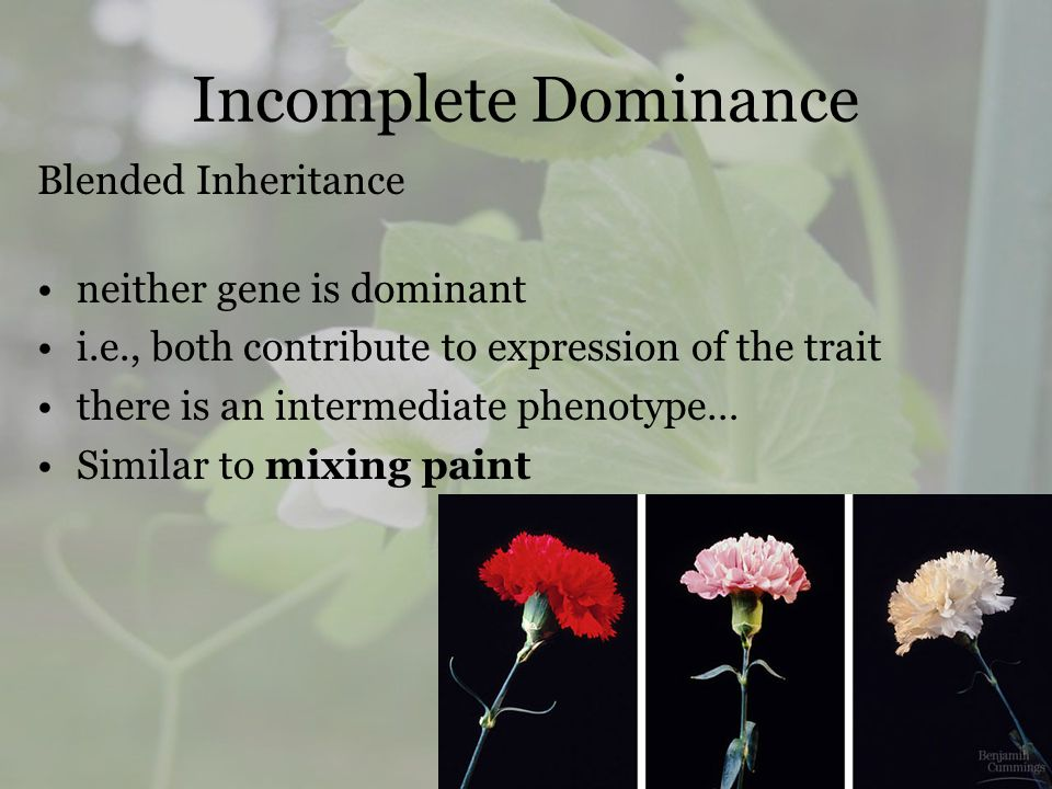 Incomplete Dominance Blended Inheritance neither gene is dominant