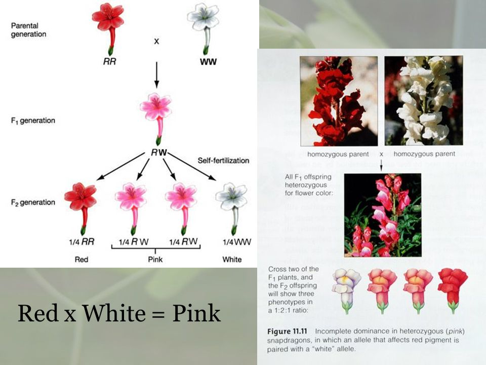 Red x White = Pink