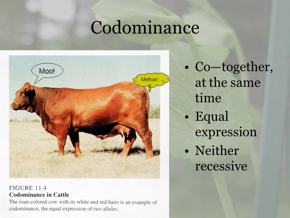 Codominance Co—together, at the same time Equal expression