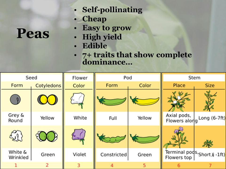 Peas Self-pollinating Cheap Easy to grow High yield Edible