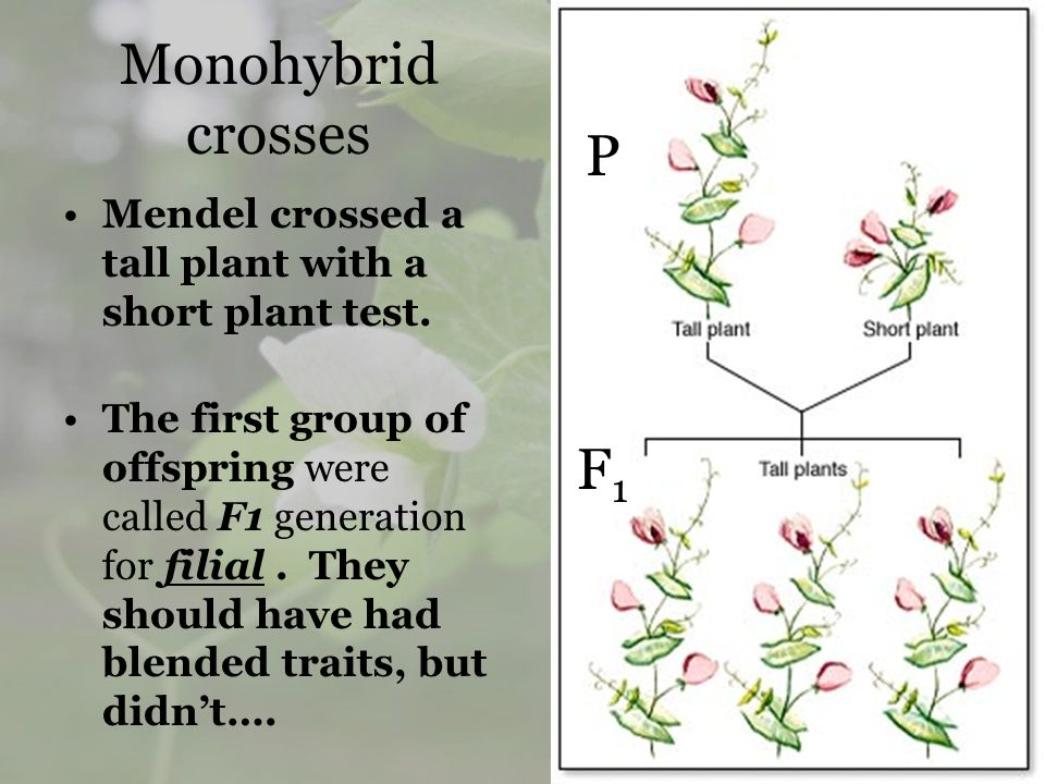 Monohybrid crosses P. Mendel crossed a tall plant with a short plant test.