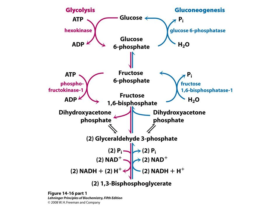 FIGURE 14-16 (part 1) Opposing pathways of glycolysis and gluconeogenesis in rat liver. The reactions of glycolysis are on the left side, in red; the opposing pathway of gluconeogenesis is on the right, in blue. The major sites of regulation of gluconeogenesis shown here are discussed later in this chapter, and in detail in Chapter 15. Figure 14-19 illustrates an alternative route for oxaloacetate produced in mitochondria.