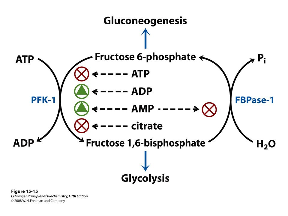 FIGURE 15-15 Regulation of fructose 1,6-bisphosphatase (FBPase-1) and phosphofructokinase-1 (PFK-1).