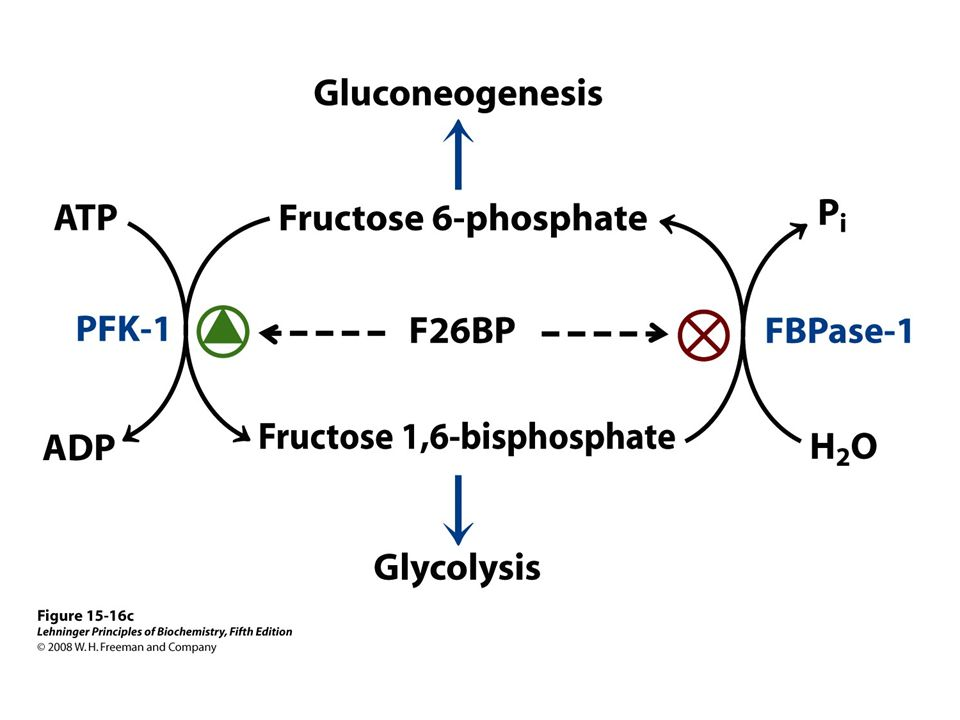 FIGURE 15-16c Role of fructose 2,6-bisphosphate in regulation of glycolysis and gluconeogenesis.